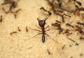 Ant Pest Control in Brisbane and Gold Coast