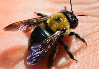 Carpenter Bees Control