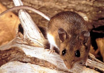 Rodent Pest Control in Brisbane and Gold Coast