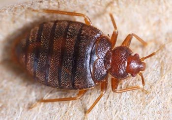 Bed Bug Treatment and Bed Bug Removal